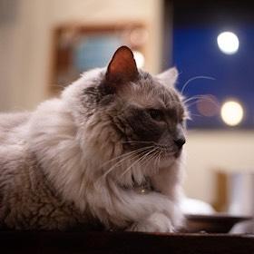 保護猫喫茶 要にゃんこ亭